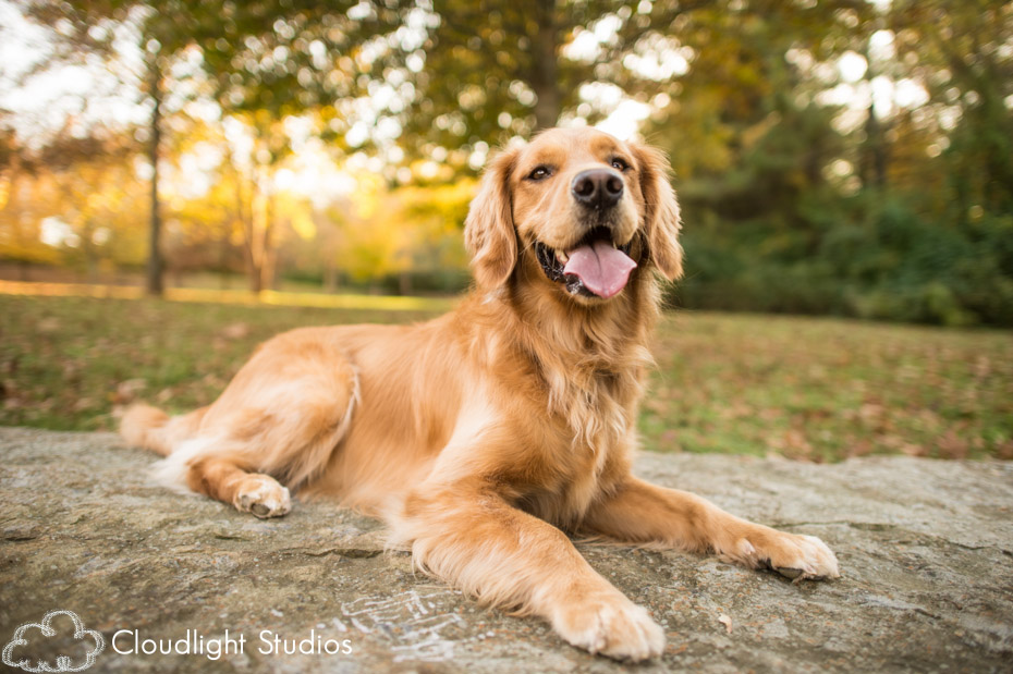 Golden Retriever Pet Photos Nashville