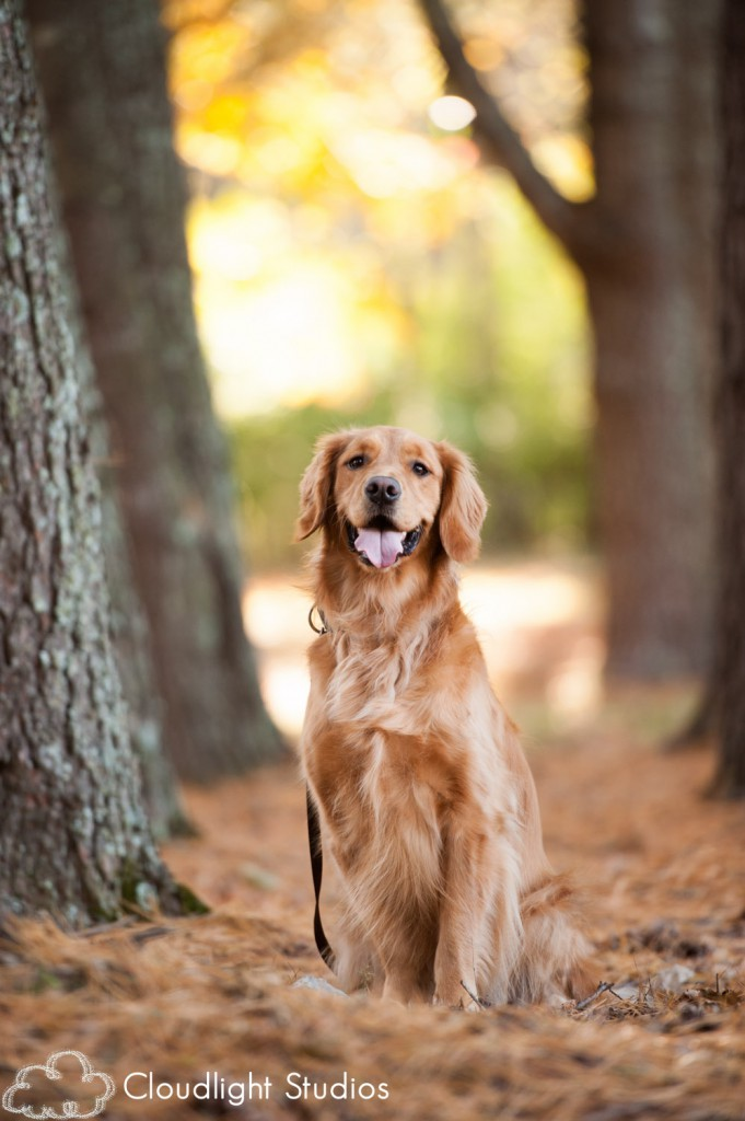 Golden-Retriever-Adult-Dog-Photo