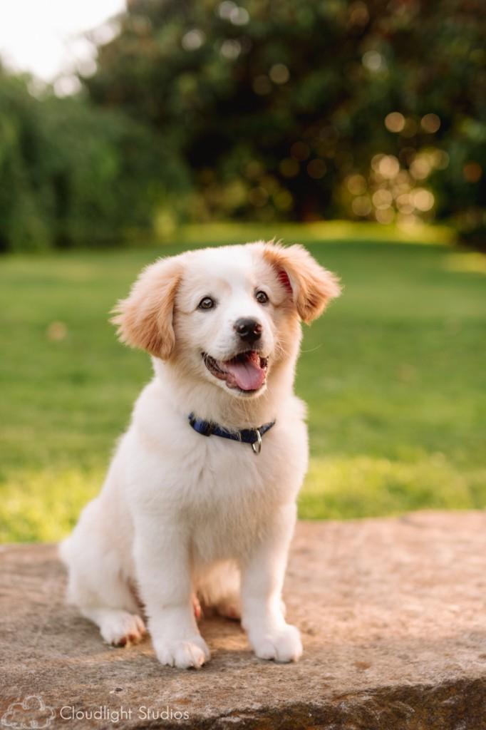 Golden-Retriever-Puppy-Photos
